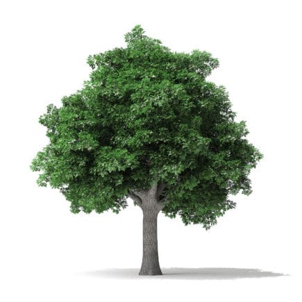 White Ash Tree 3D Model 10m