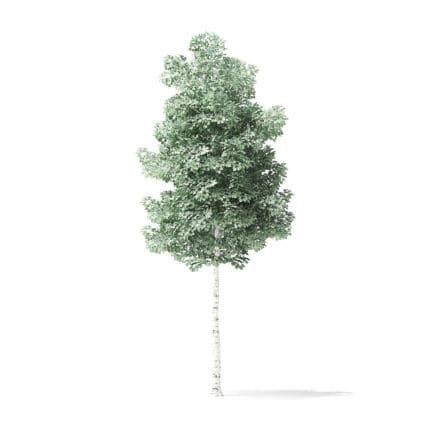 Quaking Aspen Tree 3D Model 3.7m