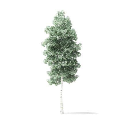 Quaking Aspen Tree 3D Model 4.3m