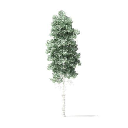 Quaking Aspen Tree 3D Model 5.9m