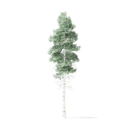 Quaking Aspen Tree 3D Model 6.7m