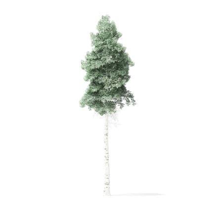 Quaking Aspen Tree 3D Model 8m