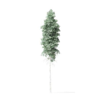 Quaking Aspen Tree 3D Model 10.5m
