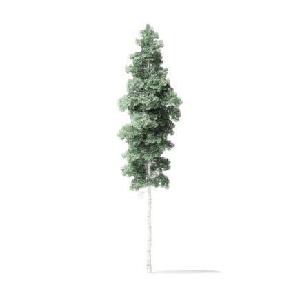 Quaking Aspen Tree 3D Model 12.7m