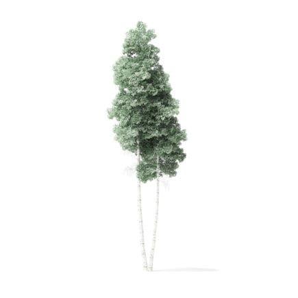 Quaking Aspen Tree 3D Model 9.4m