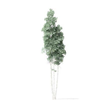 Quaking Aspen Tree 3D Model 11.7m