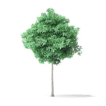 American Basswood Tree 3D Model 3.8m