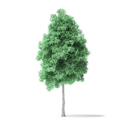 American Basswood Tree 3D Model 6m