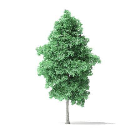 American Basswood Tree 3D Model 7.7m