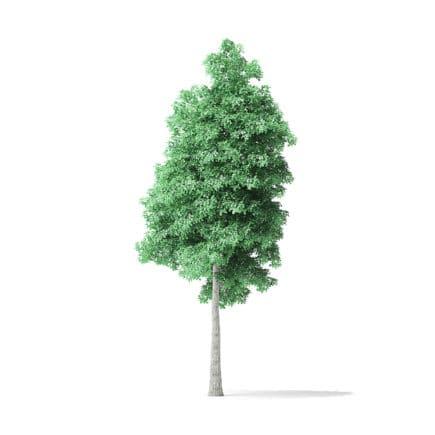 American Basswood Tree 3D Model 9m