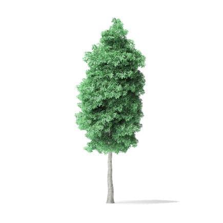 American Basswood Tree 3D Model 10.3m
