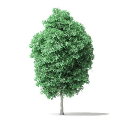 American Basswood Tree 3D Model 8.5m