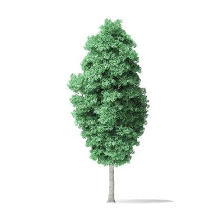 American Basswood Tree 3D Model 14.3m