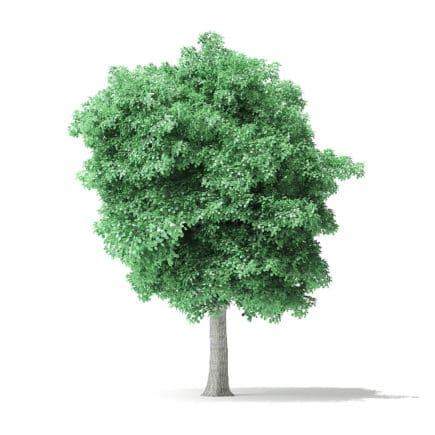 American Basswood Tree 3D Model 8.2m