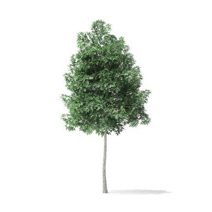 Boxelder Maple Tree 3D Model 4m