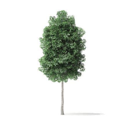 Boxelder Maple Tree 3D Model 5.4m