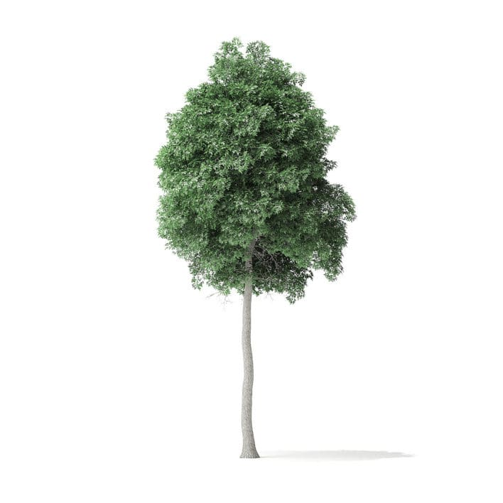 Boxelder Maple Tree 3D Model 8.8m