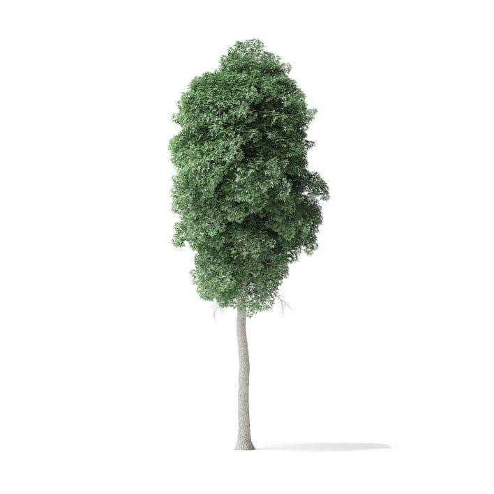 Boxelder Maple Tree 3D Model 11m